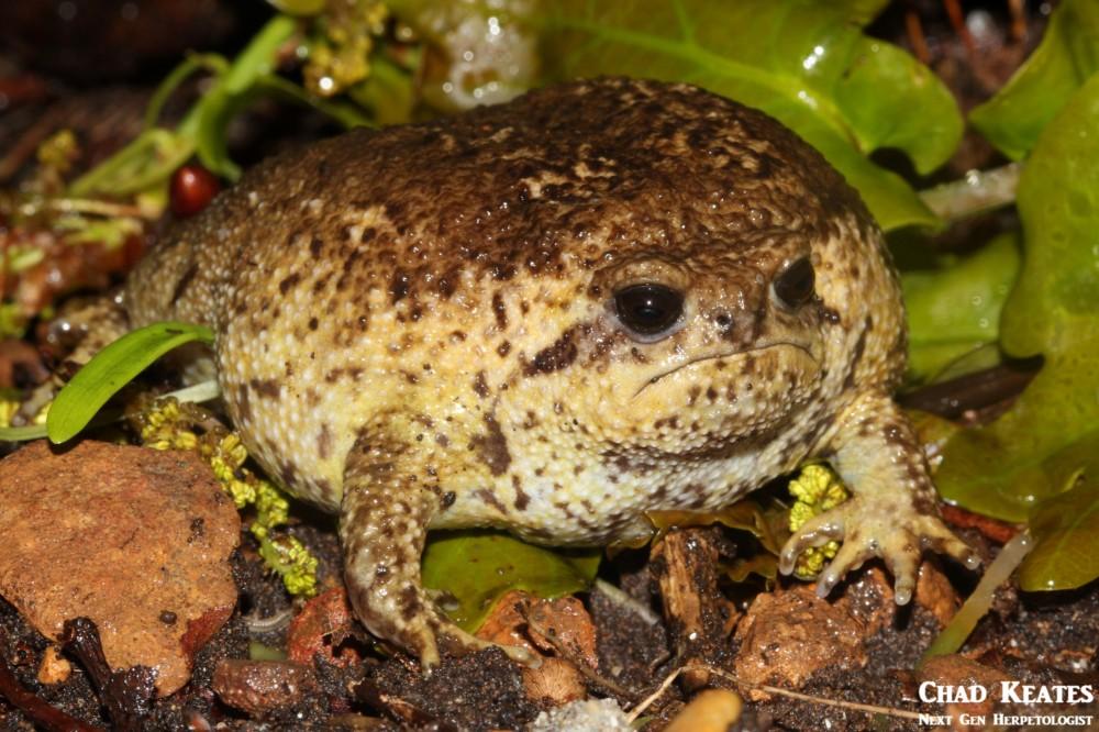 Breviceps_gibbosus_Cape_Rain_Frog_Chad Keates (2)