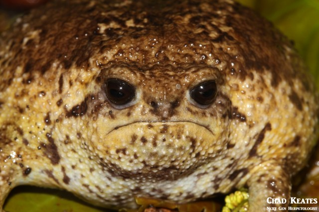 Breviceps_gibbosus_Cape_Rain_Frog_Chad Keates (3)