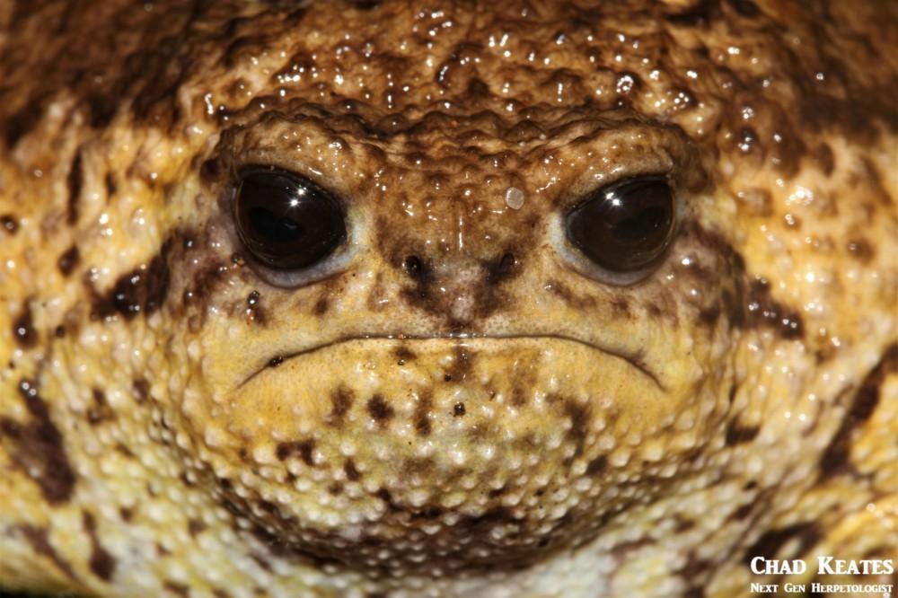 Breviceps_gibbosus_Cape_Rain_Frog_Chad Keates (4)