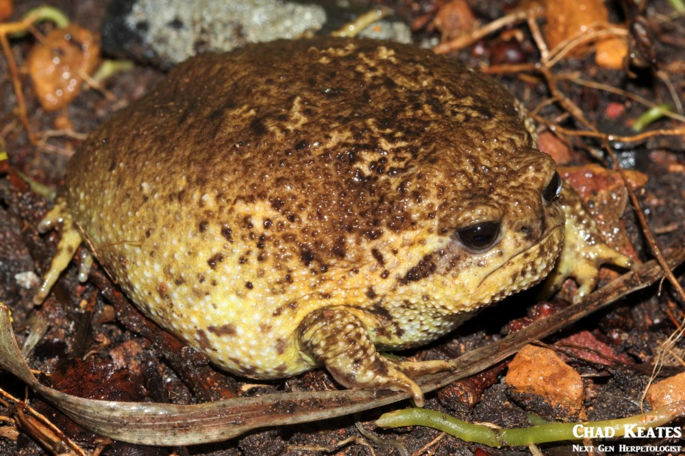 Breviceps_gibbosus_Cape_Rain_Frog_Chad Keates