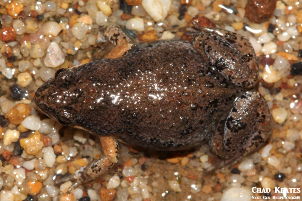 Cacosternum_australis_Southern_Caco_Chad_Keates (2)