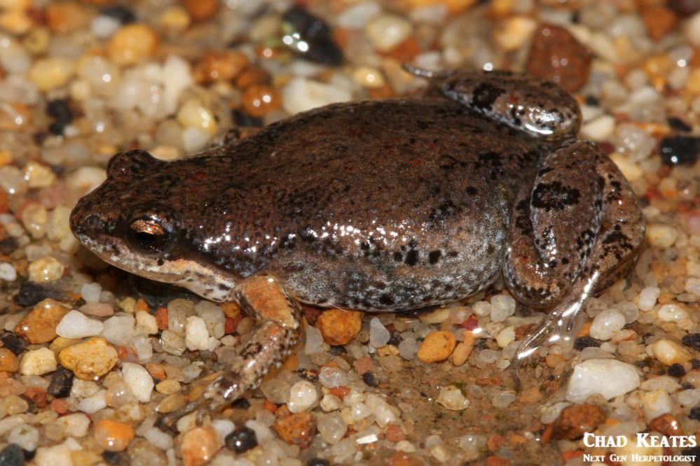 Cacosternum_australis_Southern_Caco_Chad_Keates