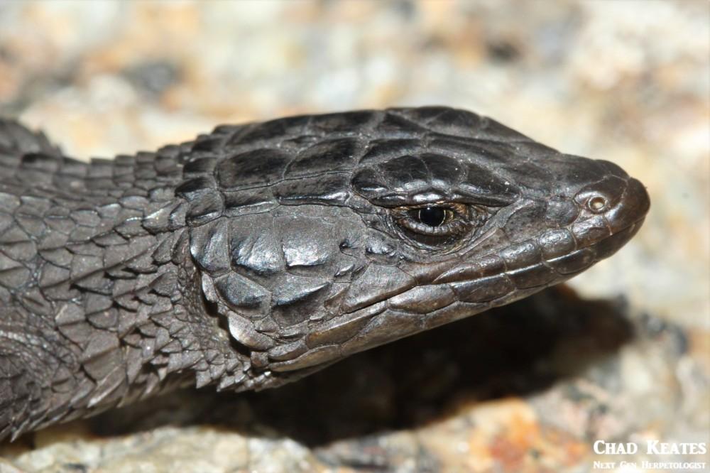 Cordylus_niger_Black_Girdled_Lizard_Chad_Keates (3)