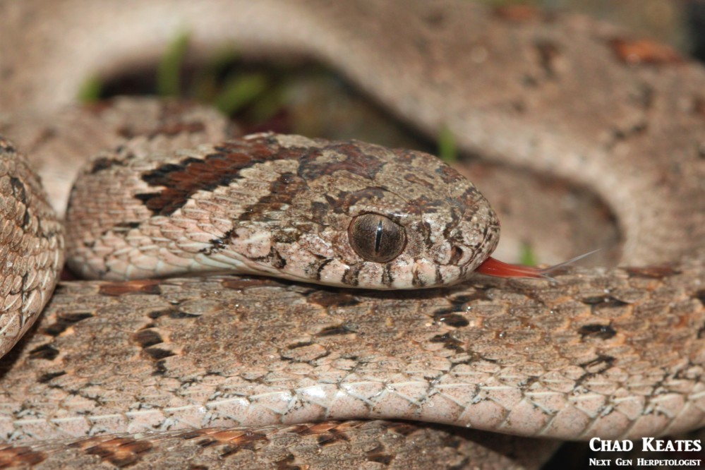 Dasypeltis_scabra_Rhombic_Egg-eater_Chad_Keates (3)