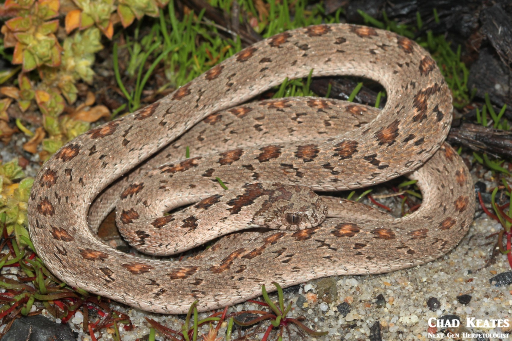 Dasypeltis_scabra_Rhombic_Egg-eater_Chad_Keates