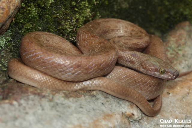 Lamprophis_guttatus_Spotted_Rock_Snakes_Chad_Keates (2)