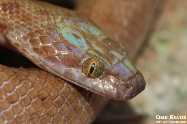 Lamprophis_guttatus_Spotted_Rock_Snakes_Chad_Keates