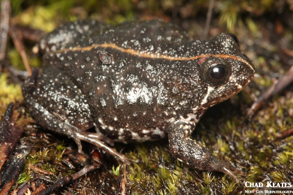 Poyntonia_paludicola_Montane_Marsh_Frog_Chad_Keates (2)