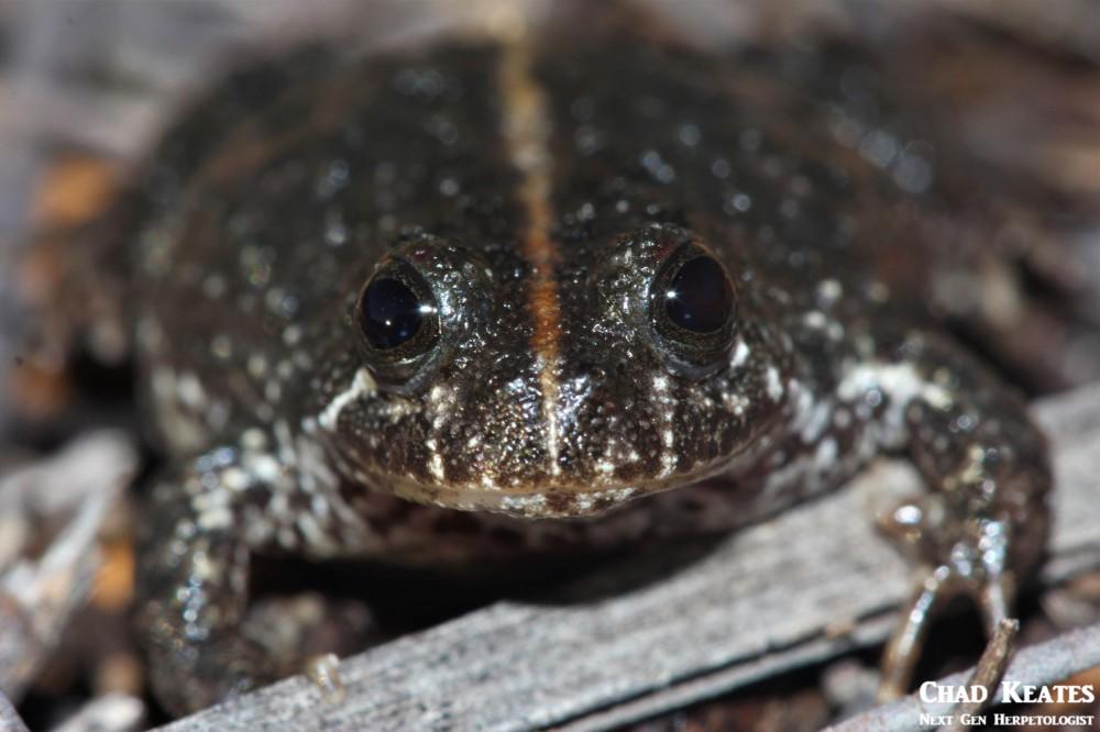 Poyntonia_paludicola_Montane_Marsh_Frog_Chad_Keates