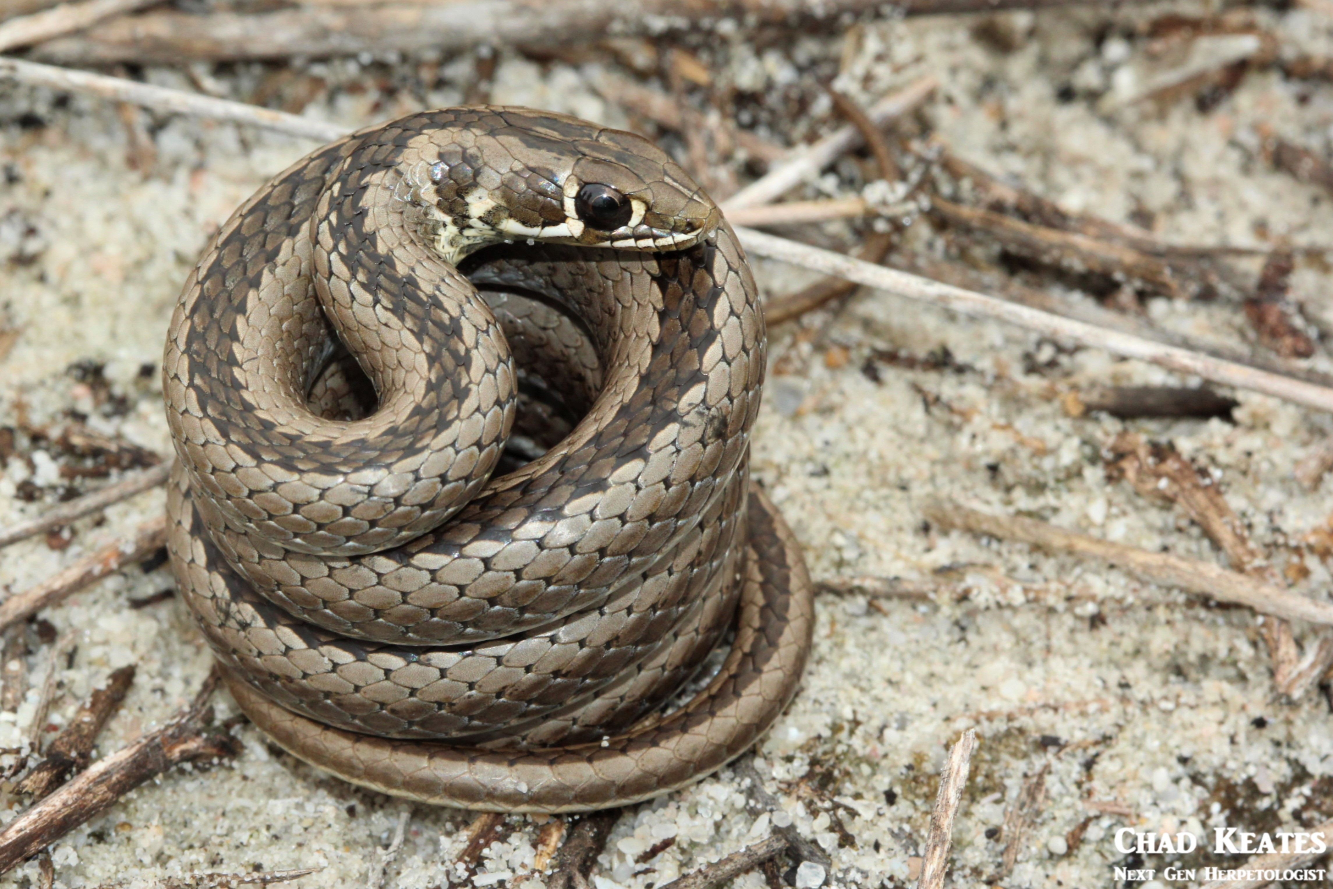 Psammophis_crucifer_Cross-marked_Whip_Snake_Chad_Keates
