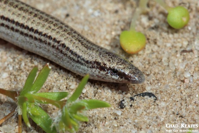 Scelotes_bipes_Slivery_Dwarf_Burrowing_Skink_Chad_Keates (2)