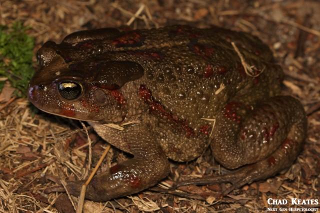 Sclerophrys_pardalis_Eastern_Leopard_Toad_Chad_Keates