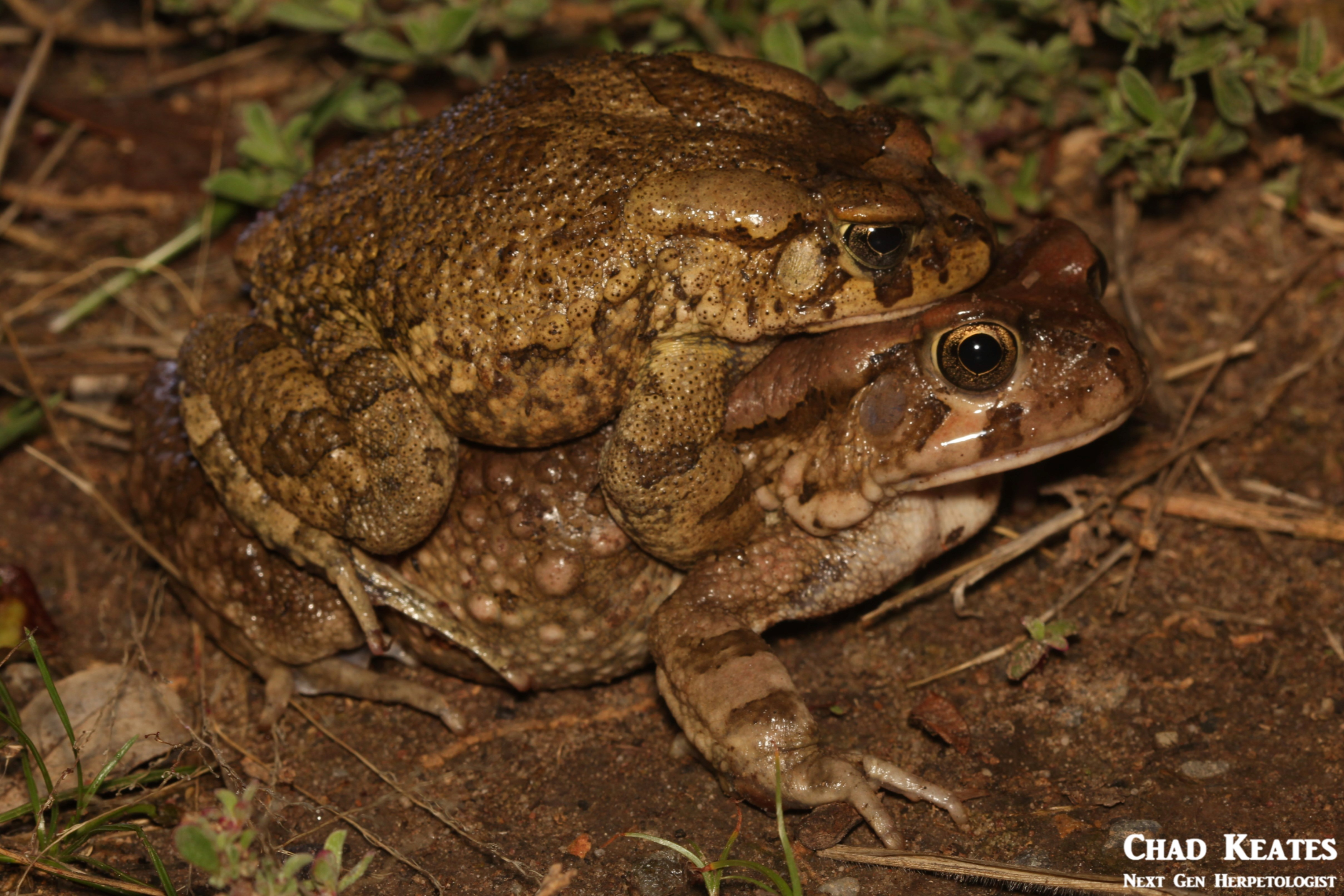 Sclerophrys_rangeri_Raucous_Toad_Chad_Keates