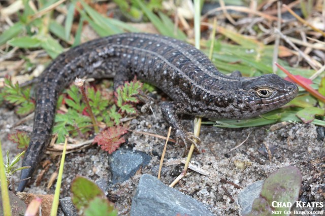 Trachylepis_capensis_Cape_Skink_Chad_Keates (2)