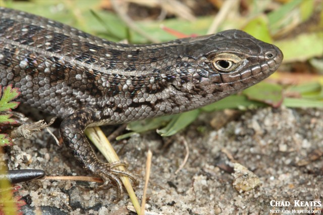 Trachylepis_capensis_Cape_Skink_Chad_Keates (3)