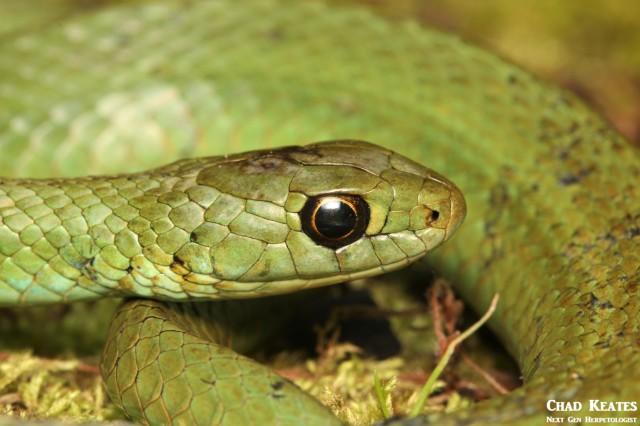 Amplorhinus_multimaculatus_Many Spotted Reed Snake_Chad_Keates (2)