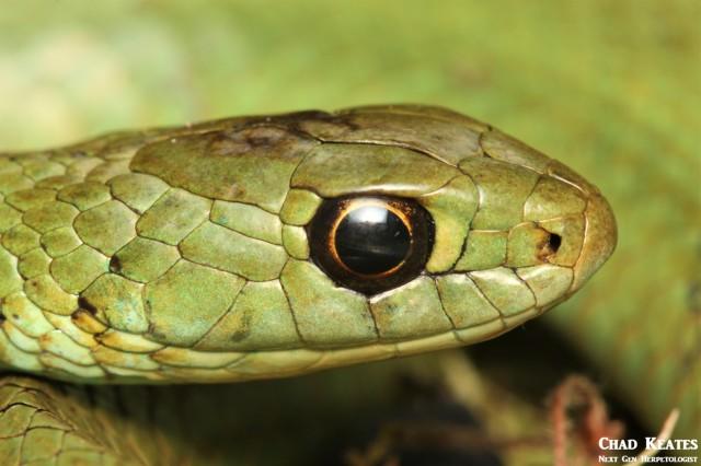 Amplorhinus_multimaculatus_Many Spotted Reed Snake_Chad_Keates (3)