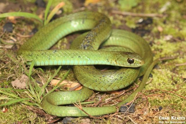 Amplorhinus_multimaculatus_Many Spotted Reed Snake_Chad_Keates