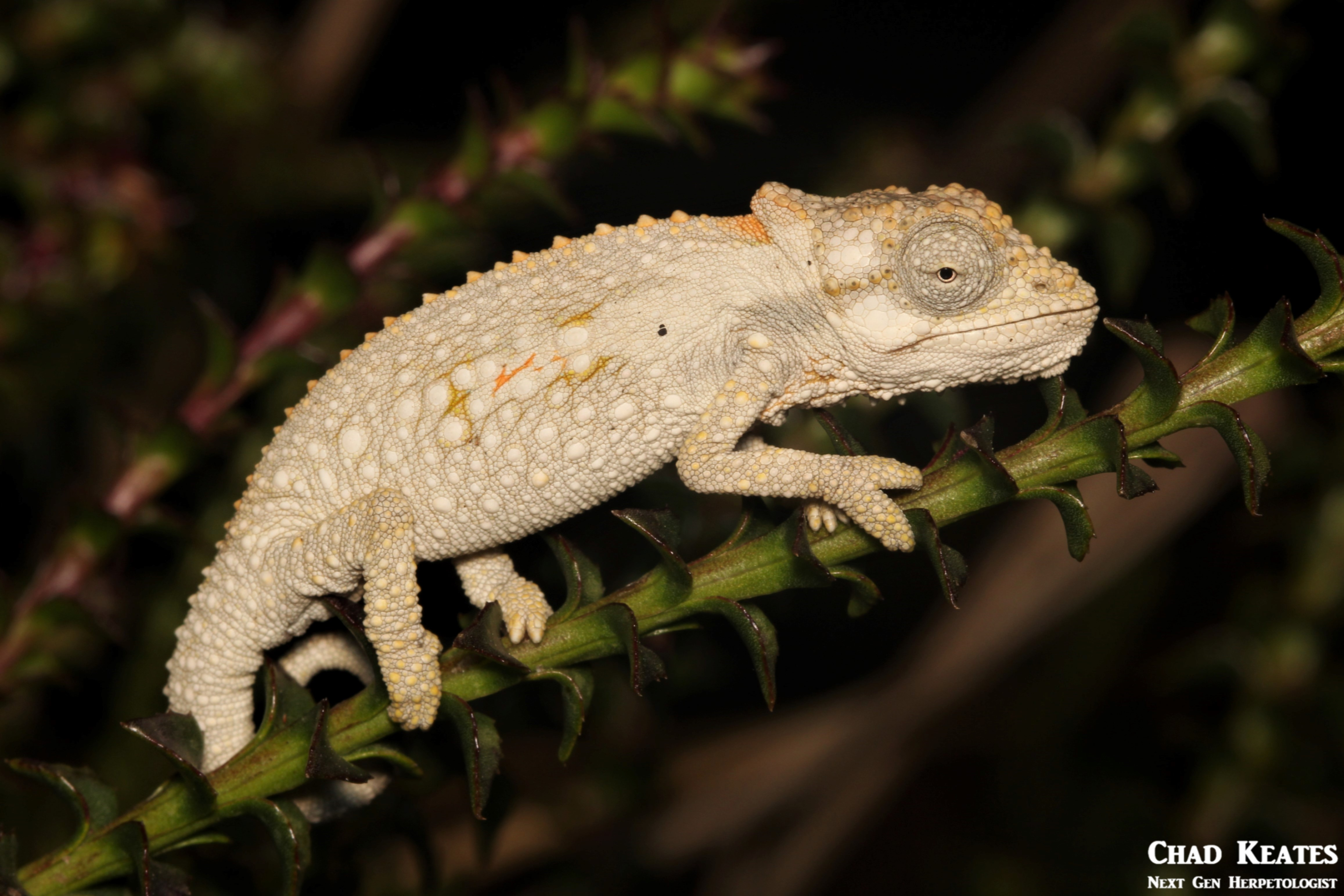 Bradypodion_ventrale_Eastern_Cape_Dwarf_Chameleon_Chad_Keates
