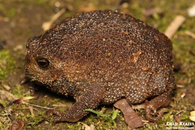 Breviceps_verrucosus_Plaintive_Rain_Frog_Chad_Keates (2)