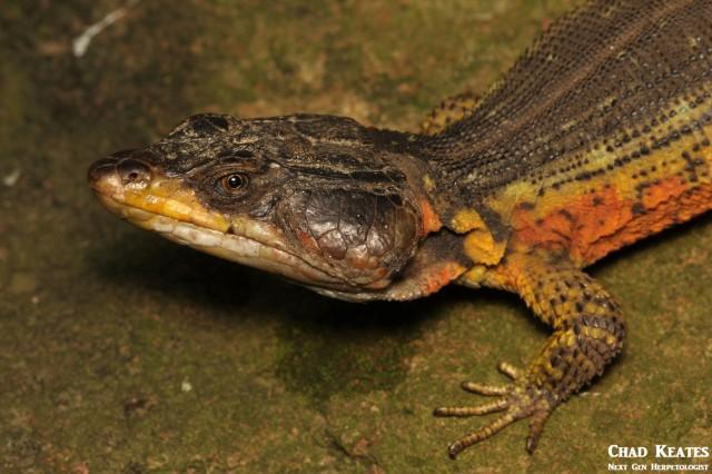 Pseudocordylus_melanotus_Drakensberg_Crag_Lizard_Chad_Keates (2)