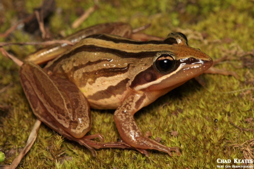 Strongylopus_fasciatus_Striped_Stream_Frog_Chad_Keates (2)