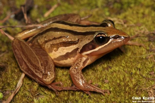 Strongylopus_fasciatus_Striped_Stream_Frog_Chad_Keates (2)