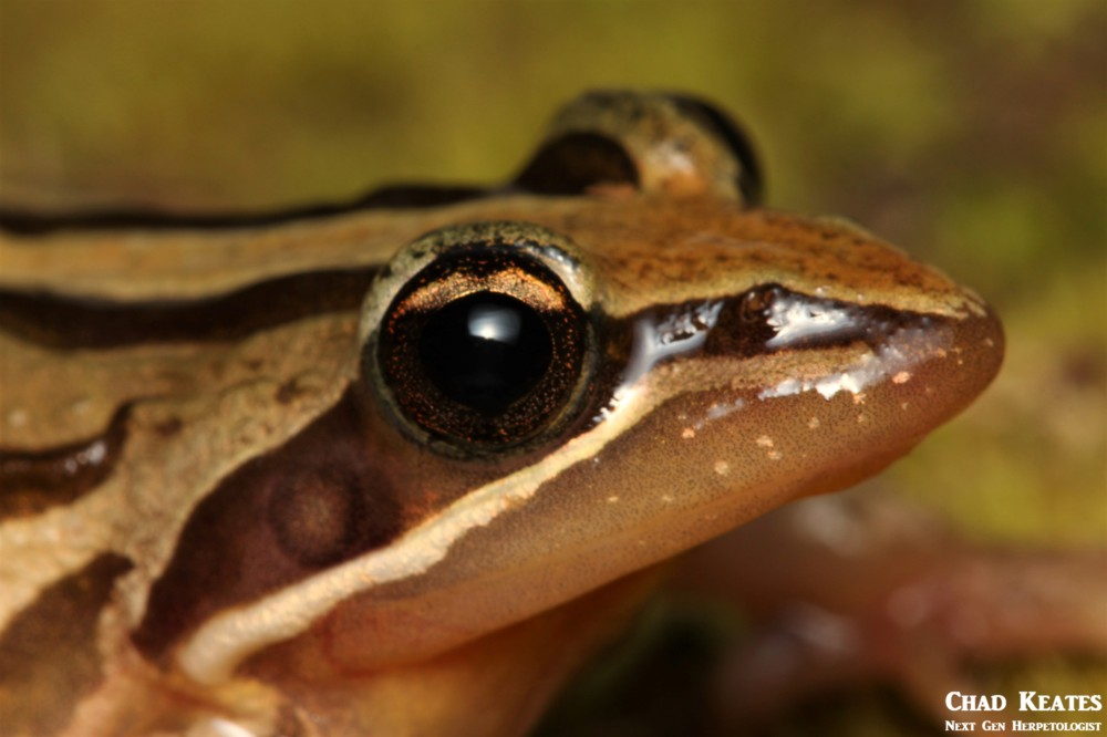 Strongylopus_fasciatus_Striped_Stream_Frog_Chad_Keates (3)