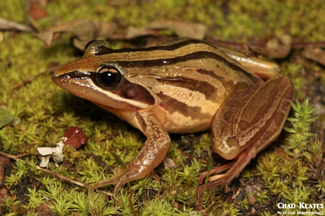 Strongylopus_fasciatus_Striped_Stream_Frog_Chad_Keates