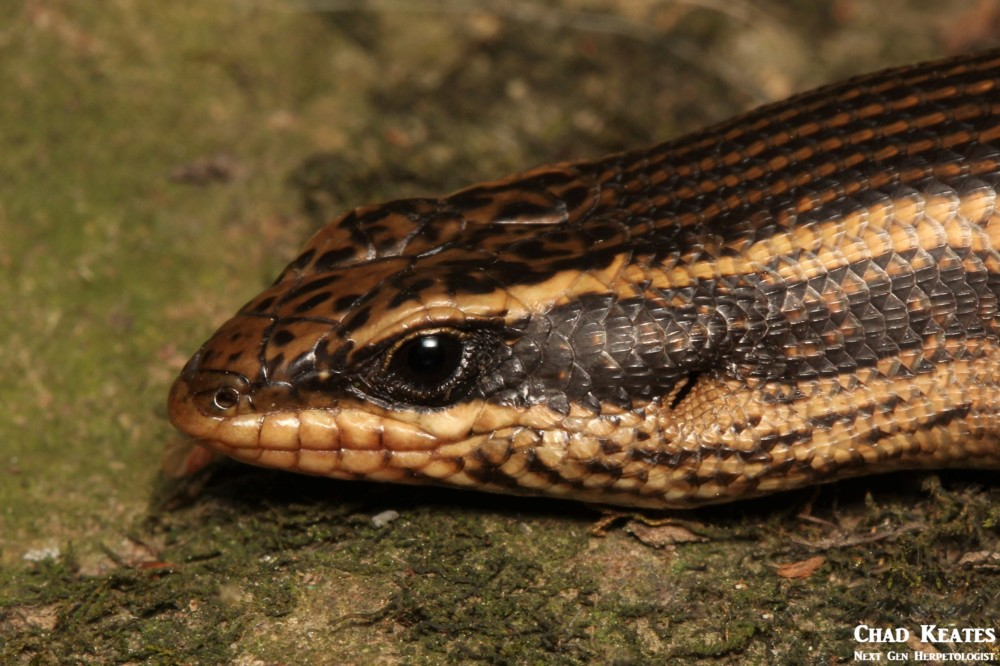 Trachylepis_punctatissimus_Speckled_Rock_Skink_Chad_Keates