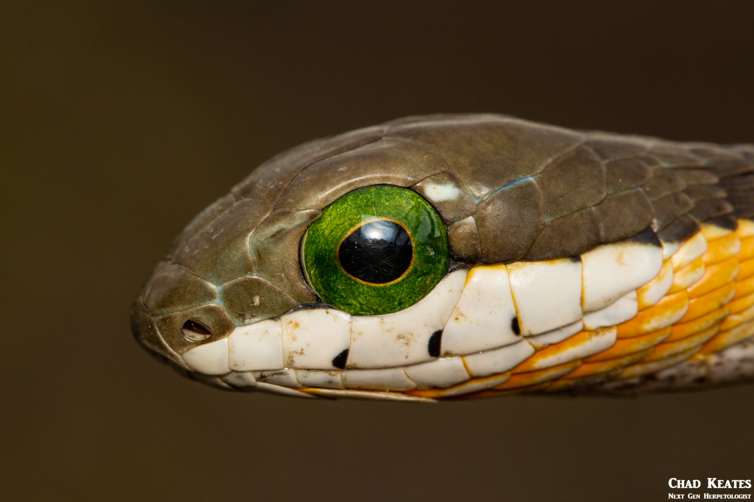 Boomslang (Dispholidus typus typus)