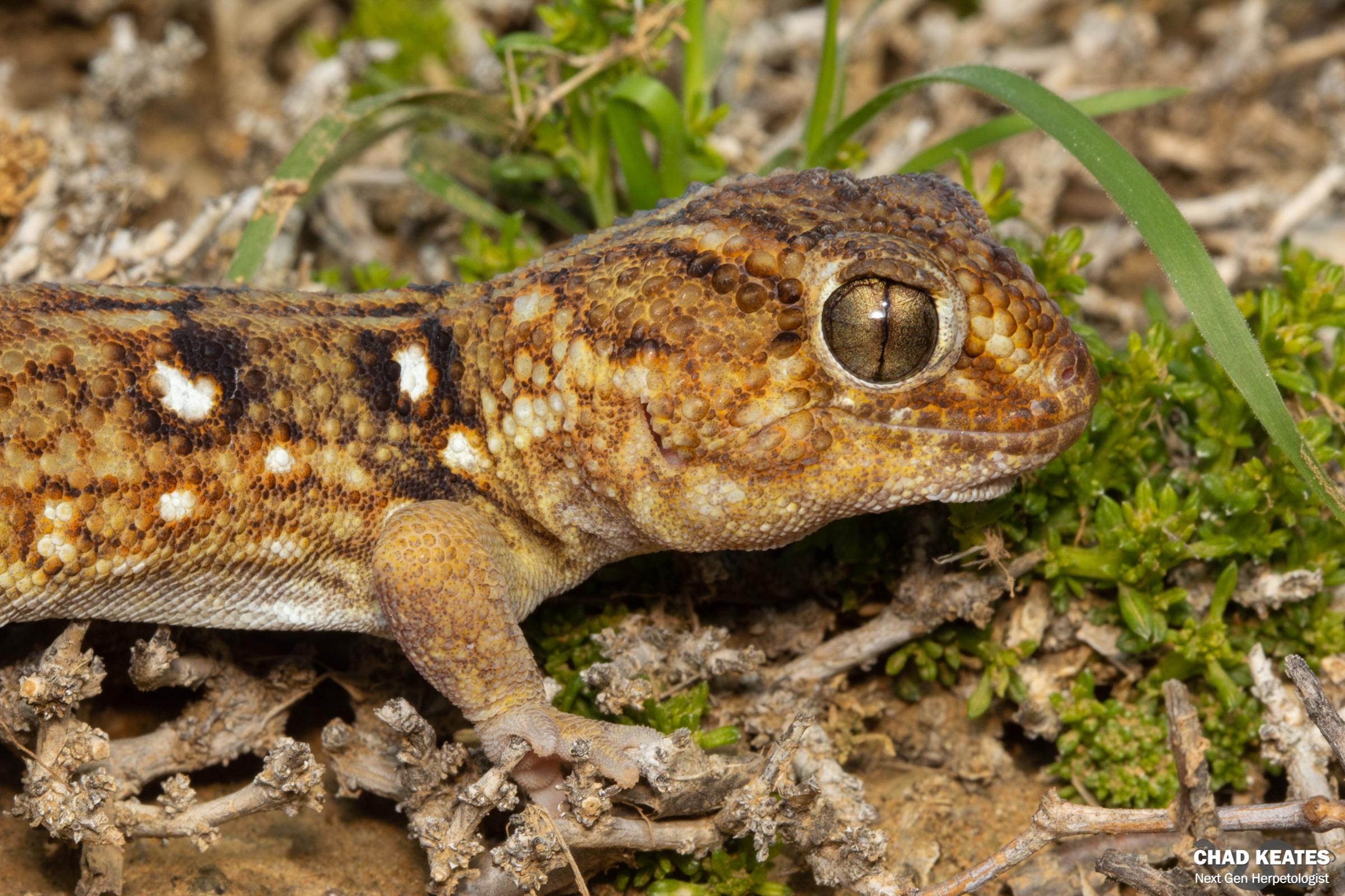 Chondrodactylus_angulifer_Giant_Ground_Gecko_Bitterfontein_Chad_Keates_2019