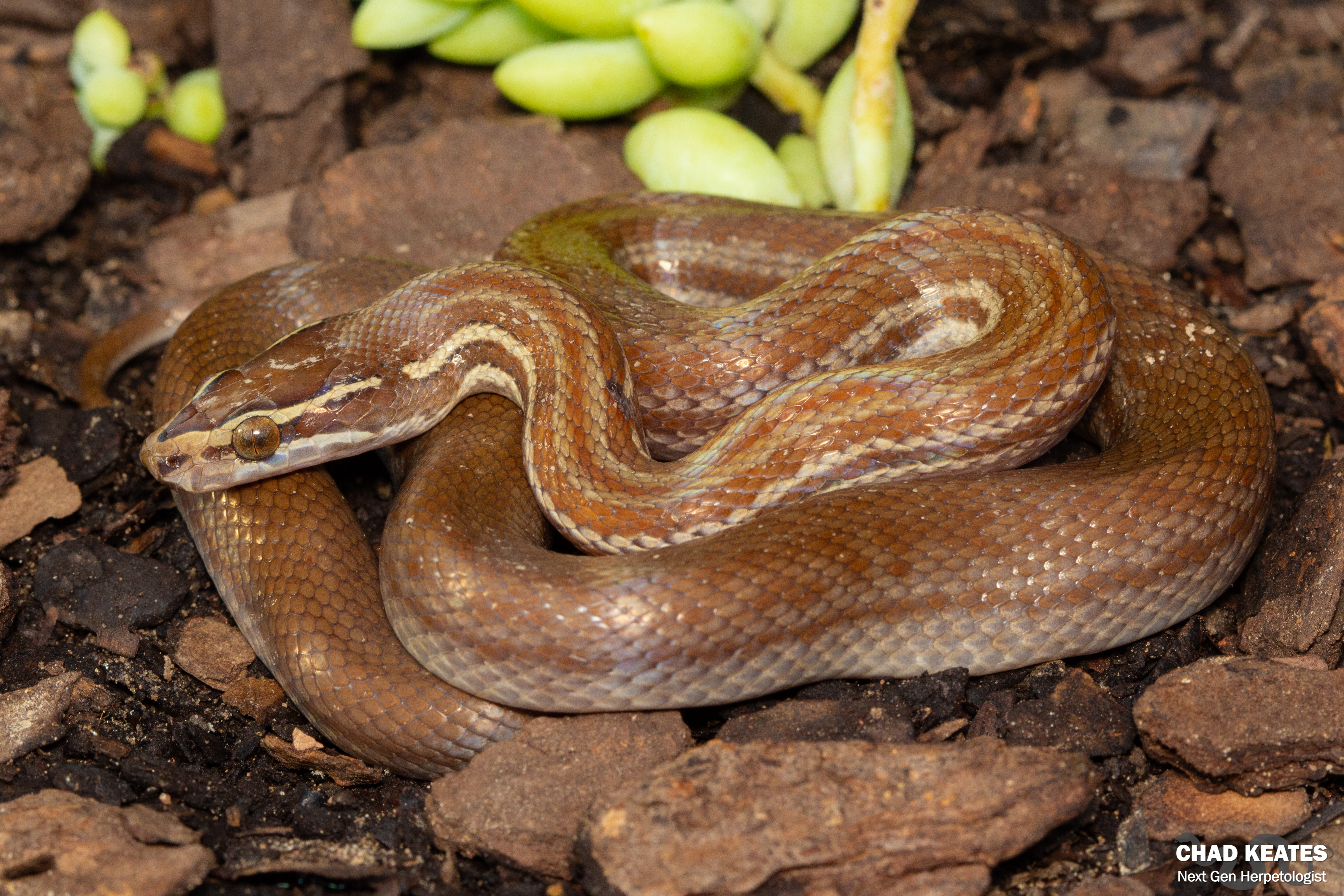 Brown House Snake Snake_Boaedon capensis_Grahamstown_EC_Chad Keates_2019 (2)